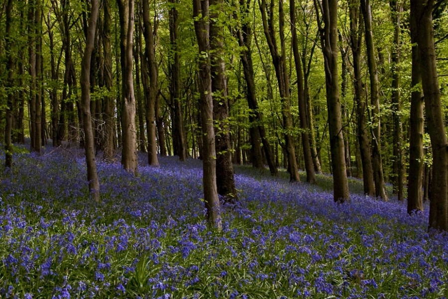Bluebells, Caerphilly Mountain