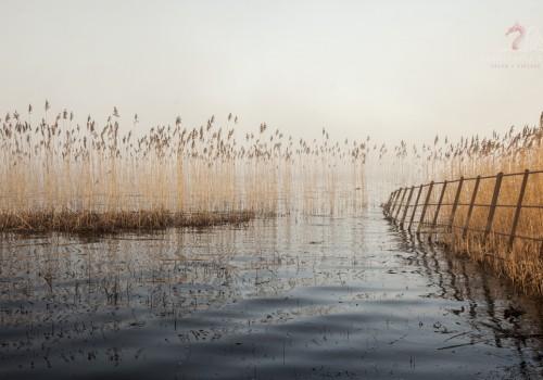 Misty Reeds Llangors Lake