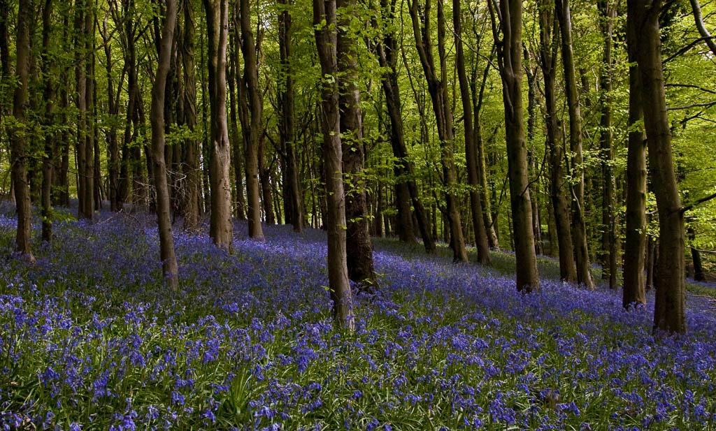 Bluebells, Caerphilly Mountain