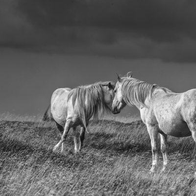 Black Mountains wild Ponies